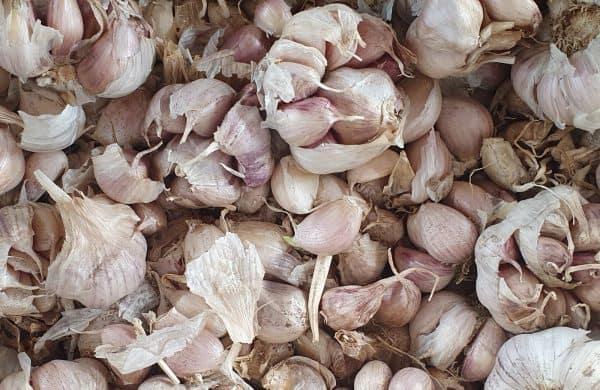 Garlic bulbs-cloves for planting