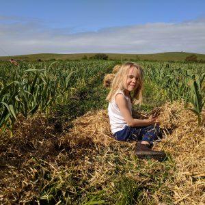 Garlic crop 2018 mulching