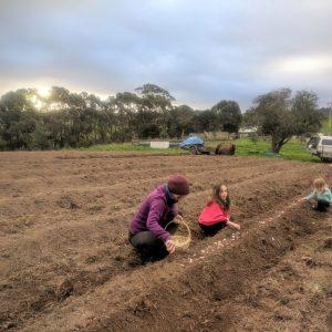 Garlic crop 2018 planting