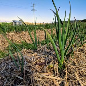 Garlic crop 2018 shoots 3
