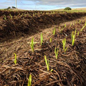 Garlic crop 2018 shoots