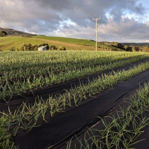 Garlic crop 2019