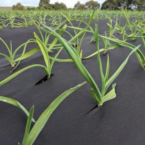Garlic crop 2019 shoots 3