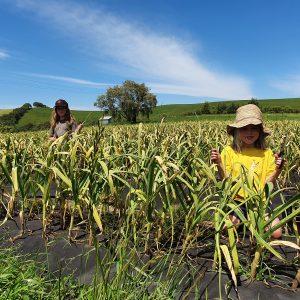Garlic crop 2020 harvesting scapes