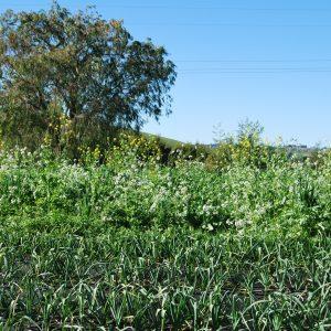 Garlic crop with green manure crop behind