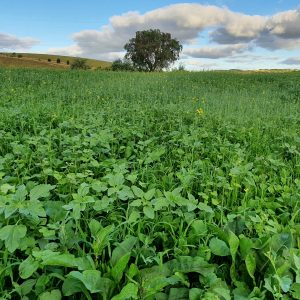 Green manure crop for soil health 2