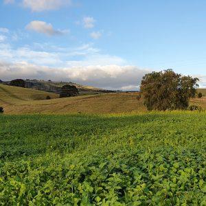 Green manure crop for soil health