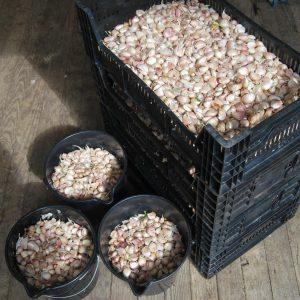 Turban garlic seed ready for planting
